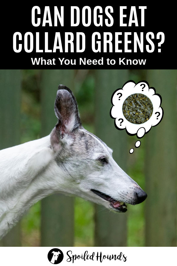 whippet dog wondering about collard greens