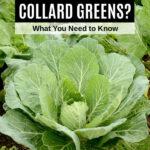collard green plant
