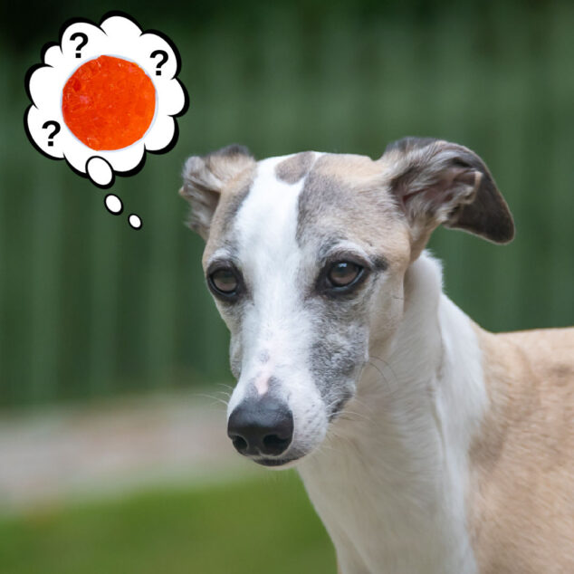 whippet dog wondering about Jello