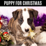 puppy and Christmas decorations