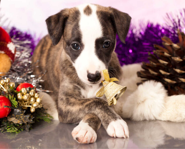 whippet puppy and Christmas decorations