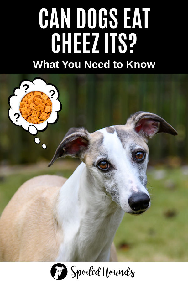 whippet dog wondering about Cheez Its