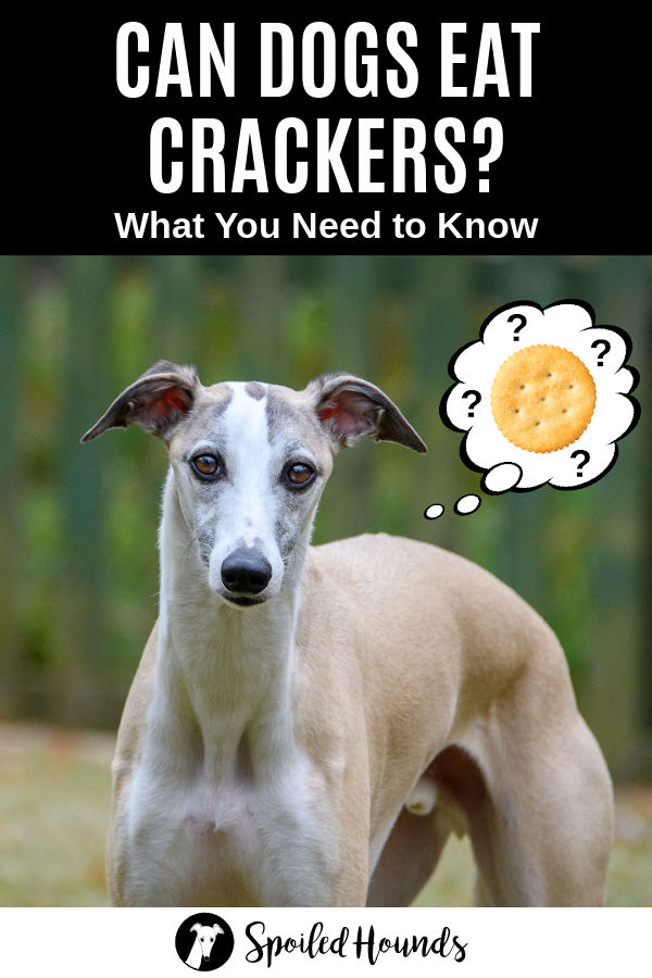 whippet dog wondering about crackers