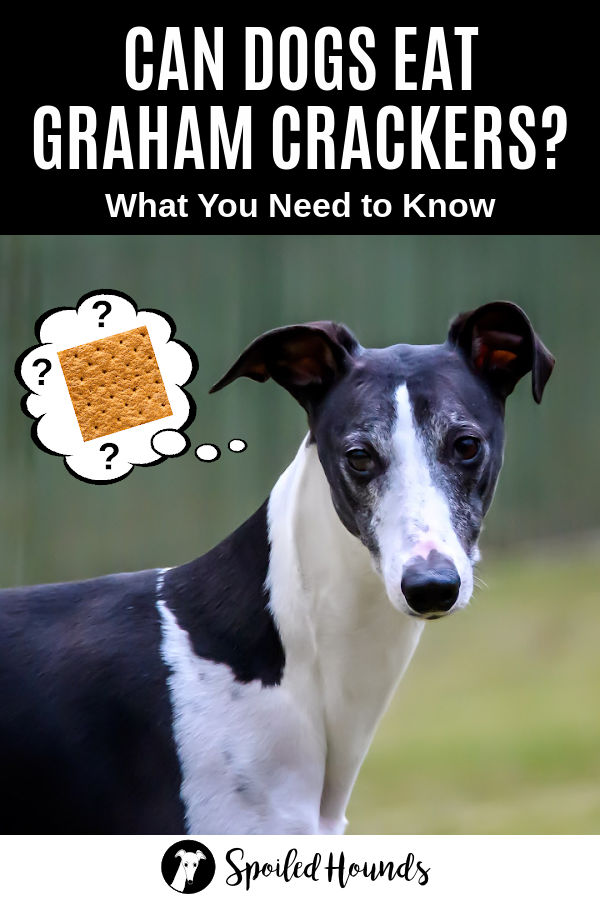 dog wondering about graham crackers
