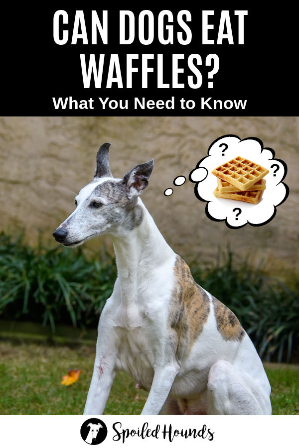 whippet dog wondering about waffles