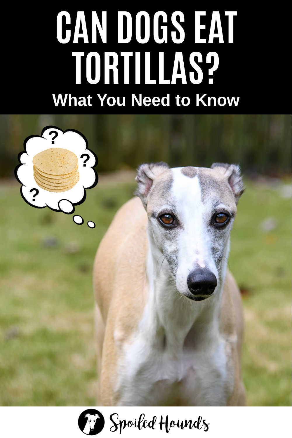 whippet dog wondering about tortillas