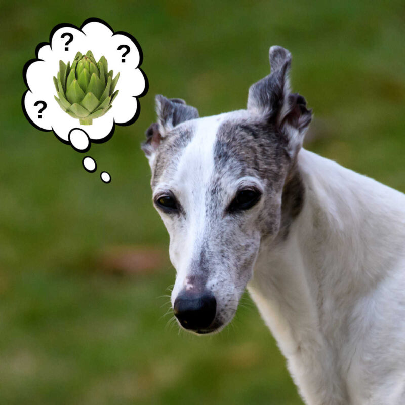 dog wondering about artichokes