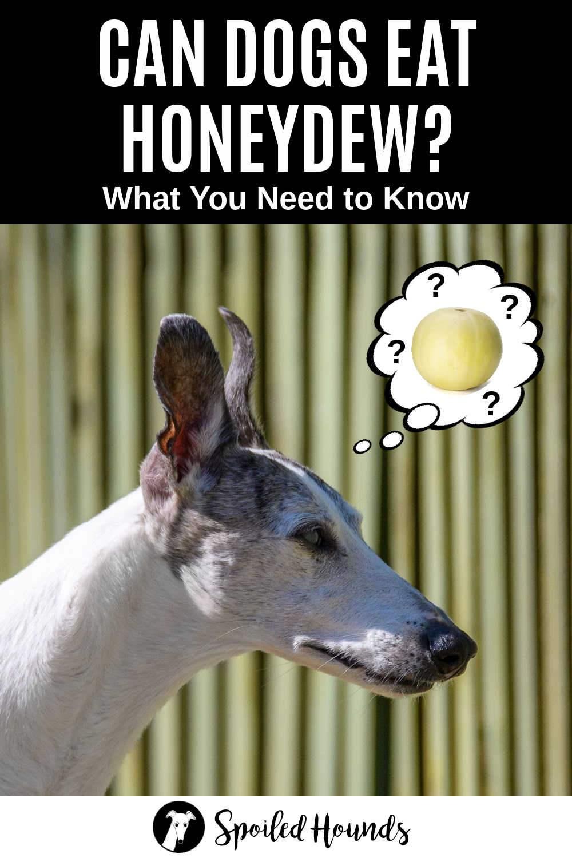 whippet dog wondering about honeydew melon