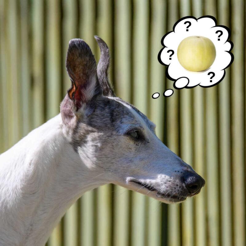 dog wondering about honeydew melon