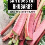 fresh rhubarb stalks and rhubarb leaves