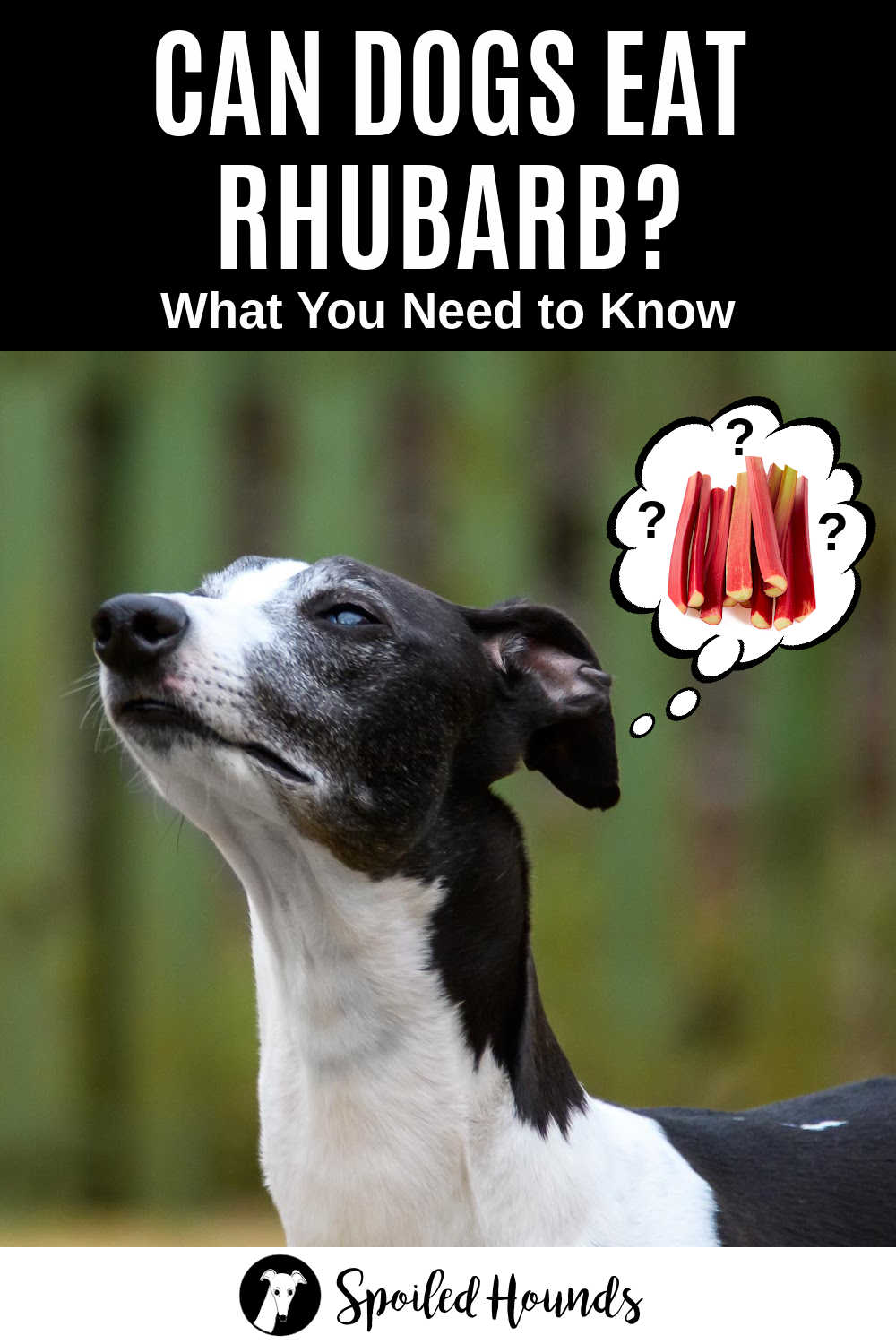 whippet dog wondering about rhubarb