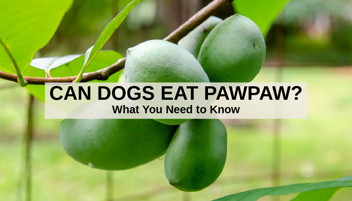pawpaw fruit on a tree branch