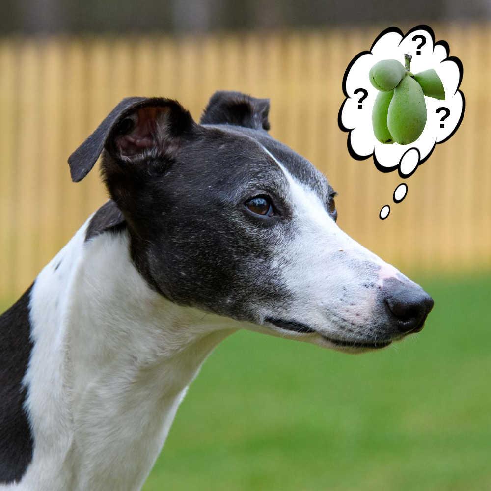dog wondering about pawpaw fruit