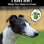 whippet dog wondering about pawpaw fruit
