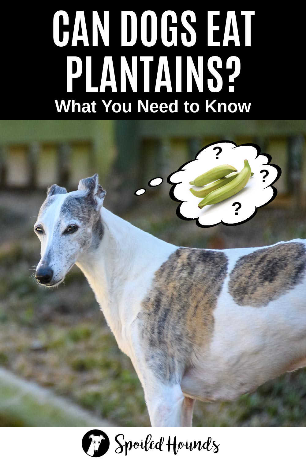 whippet dog wondering about plantains