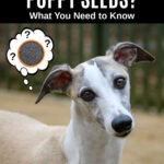 whippet dog wondering about poppy seeds