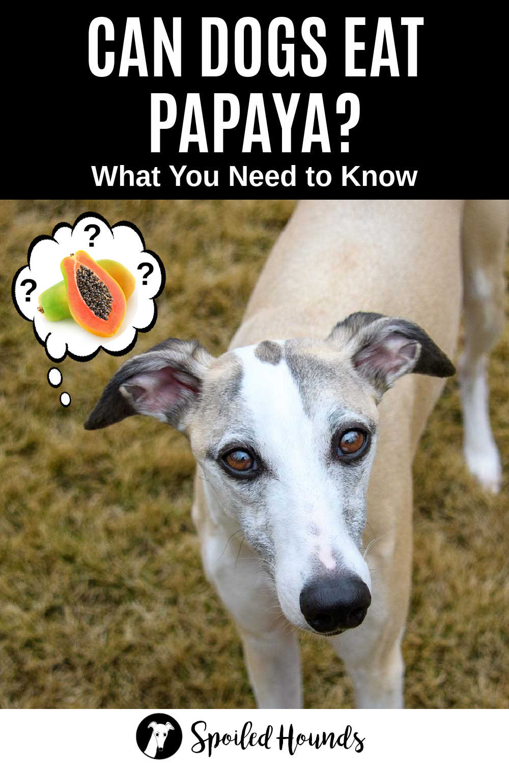 whippet dog wondering about papaya