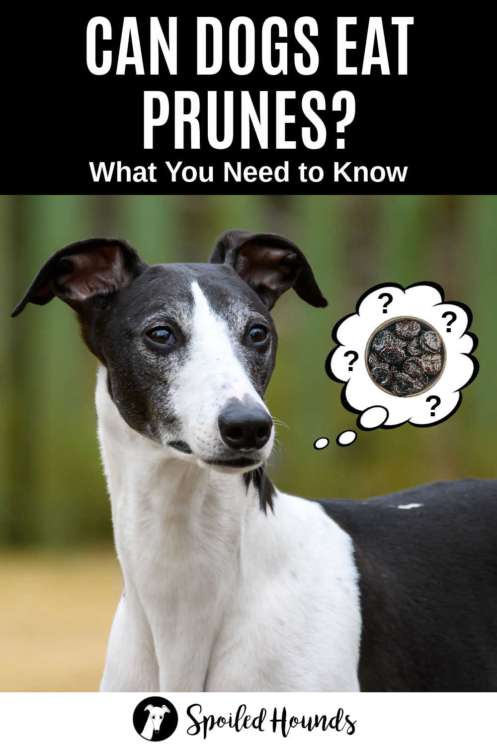 whippet dog wondering about prunes