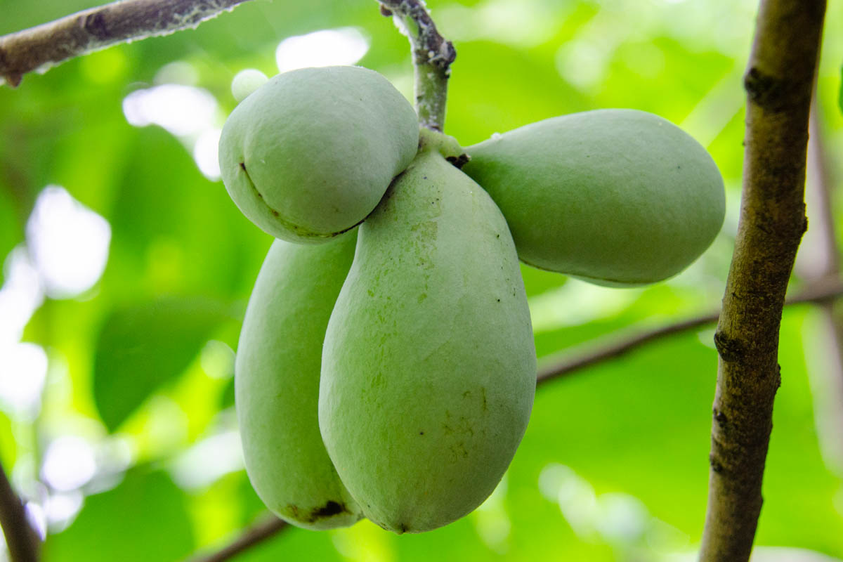 pawpaw fruit on the tree