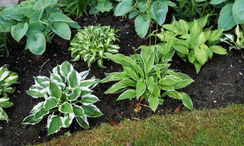 various plantain hosta plants