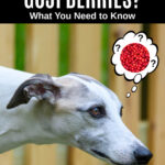 whippet dog wondering about goji berries