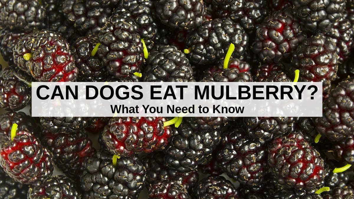 fresh mulberry berries