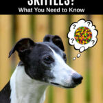 whippet dog wondering about Skittles candy