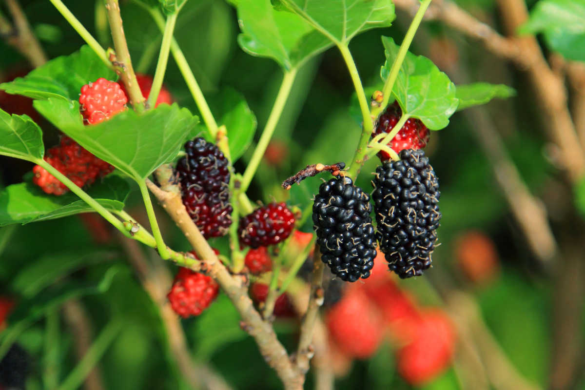 mulberries on the tree
