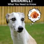 whippet dog wondering about caramel
