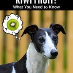 whippet dog wondering about kiwi