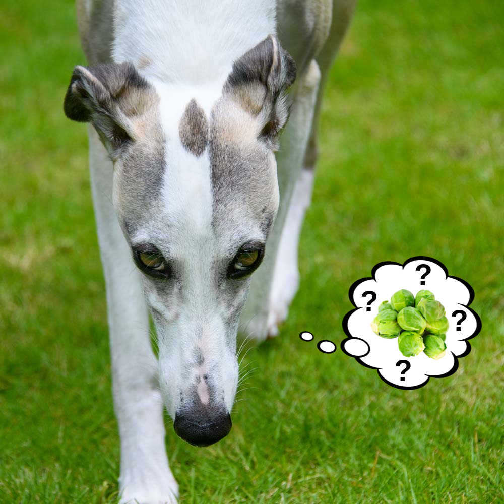 dog wondering about Brussels sprouts
