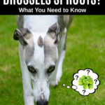 whippet dog wondering about Brussels sprouts