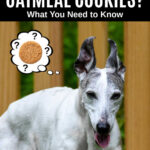 whippet dog wondering about oatmeal cookies