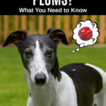 whippet dog wondering about plums