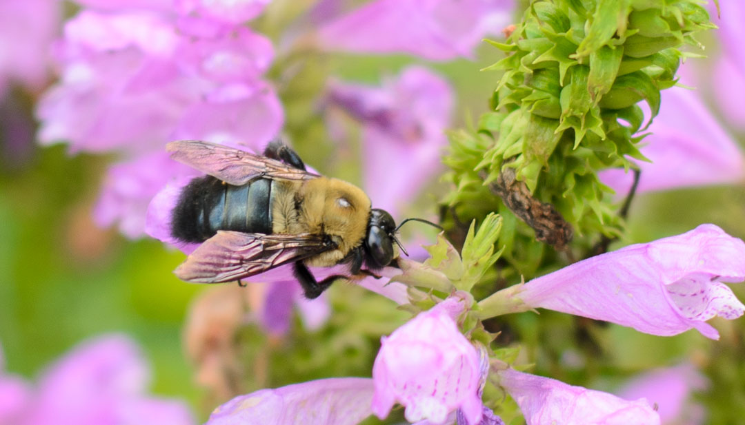 bee on a hosta flower