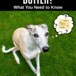whippet dog wondering about butter
