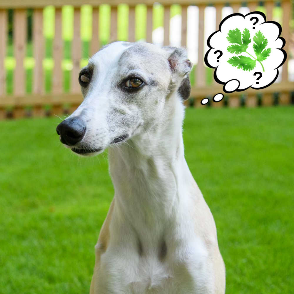 dog wondering about cilantro