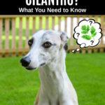 whippet dog wondering about cilantro