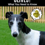 whippet dog wondering about olives