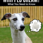 whippet dog wondering about whipped cream.