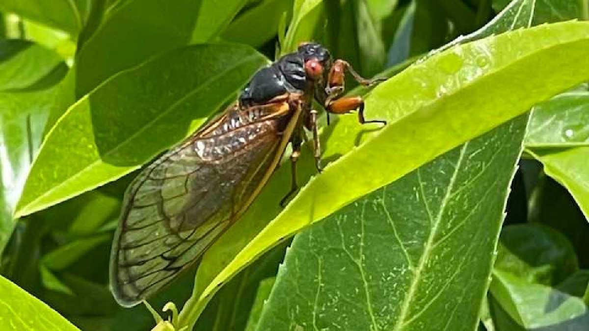 brood x cidada on a leaf