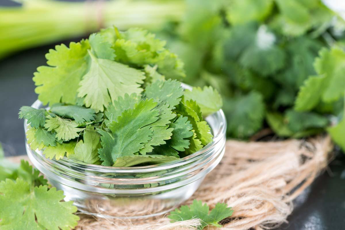 fresh cilantro leaves in a bowl