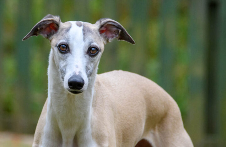 fawn colored whippet dog with brown eyes.