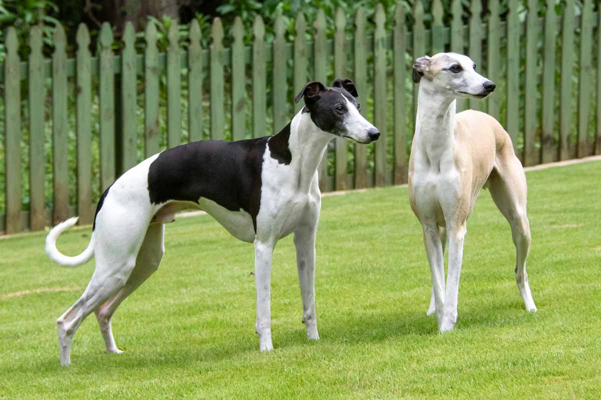 two whippet dogs standing on grass in front of a fence.