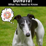 whippet dog wondering about donuts