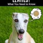 whippet dog wondering about lentils