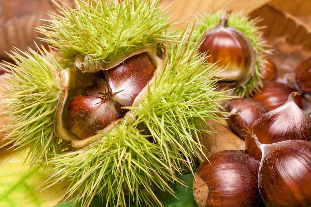 fresh raw sweet chestnuts.