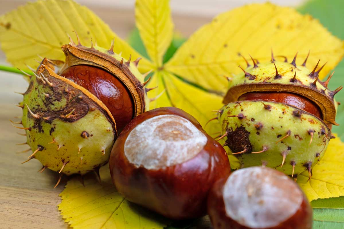 four horse chestnuts.
