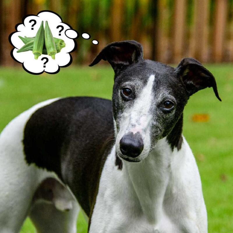 dog wondering about okra.