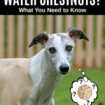 whippet dog wondering about water chestnuts.